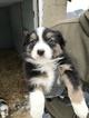 Australian Shepherd Puppy For Sale near 44730, Canton, OH, USA