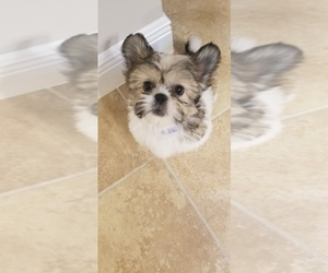 Shih Tzu Puppy for Sale in FORT MYERS, Florida USA