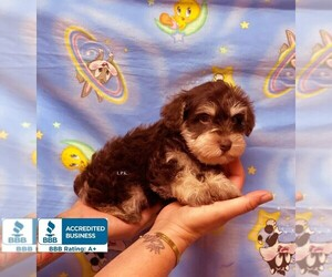 Schnauzer (Miniature) Puppy for Sale in WINNSBORO, Louisiana USA