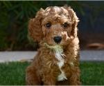 Puppy 1 Poodle (Miniature)