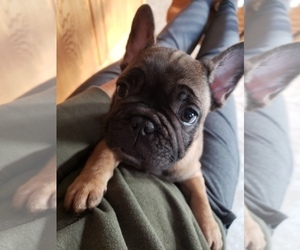 French Bulldog Puppy for Sale in SHELDON, Wisconsin USA