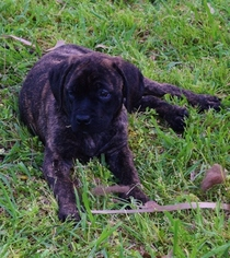 Mastiff Puppy For Sale in FORNEY, TX