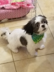 Shih Tzu Puppy For Sale in BETHEL PARK, PA