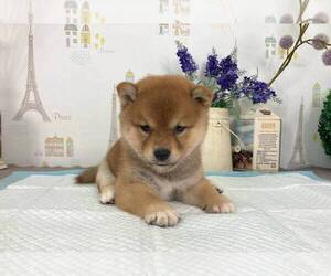 Shiba Inu Dog for Adoption in ROWLAND HEIGHTS, California USA