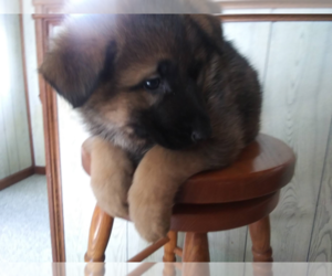 German Shepherd Dog Puppy for sale in KOKOMO, IN, USA