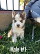 Siberian Husky Puppy For Sale in SAN DIEGO, CA, USA