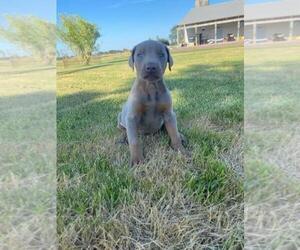 Doberman Pinscher Dog for Adoption in BREMEN, Minnesota USA