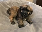 Poodle (Standard)-Woodle Mix Puppy For Sale in LAKE LOTAWANA, MO, USA