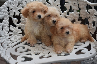 Poodle (Toy) Puppy for sale in CICERO, IL, USA