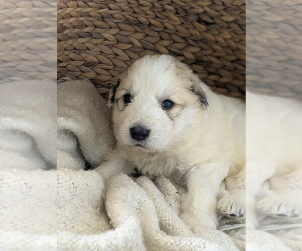Medium Photo #74 Great Pyrenees Puppy For Sale in FALCON, CO, USA