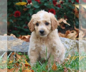 Goldendoodle-Poodle (Miniature) Mix Puppy for sale in LEBANON, PA, USA