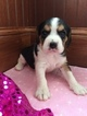 Beaglier Puppy For Sale in LEO, IN, USA