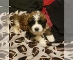 Puppy 13 Saint Bernard