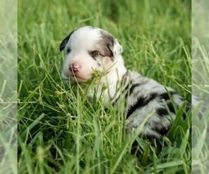 Miniature Australian Shepherd Puppy for sale in CAPE CORAL, FL, USA