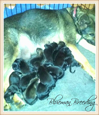 German Shepherd Dog Puppy For Sale in PIERCE CITY, MO, USA
