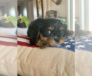 Cavalier King Charles Spaniel Puppy for Sale in FROSTPROOF, Florida USA