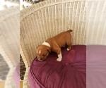 Small #8 Olde English Bulldogge