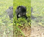 Small Staffordshire Bull Terrier
