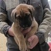 Great Dane Puppy For Sale in RENO, Nevada,