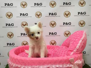 Chiranian Puppy For Sale in TEMPLE CITY, CA