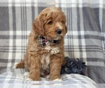 Small #8 Labradoodle