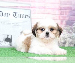 Shih Tzu Dog for Adoption in BEL AIR, Maryland USA