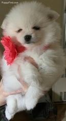 Pomeranian Puppy For Sale in EDISON, NJ, USA
