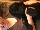 Labradoodle Puppy For Sale in AUSTIN, CO, USA