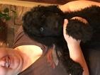 Labradoodle Puppy For Sale in AUSTIN, Colorado,