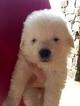 Puppy 5 Maremma Sheepdog