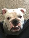 9 month old English Bulldog