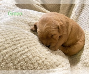 Golden Retriever Puppy for Sale in UNICOI, Tennessee USA