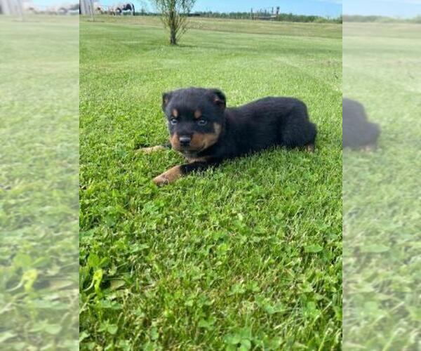 View Ad: Rottweiler Puppy for Sale near In Netherlands