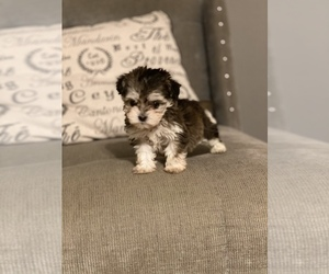 Maltipoo Dog for Adoption in LAKE HAVASU CITY, Arizona USA