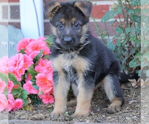 German Shepherd Dog Puppy for sale in FREDERICKSBG, OH, USA