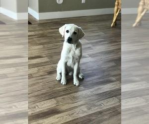 Labrador Retriever Puppy for sale in LOGAN, UT, USA