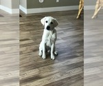 Image preview for Ad Listing. Nickname: White Lab Puppy