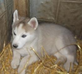 Siberian Husky Puppy For Sale in MOWEAQUA, IL, USA