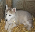 Siberian Husky Puppy For Sale in MOWEAQUA, IL, USA