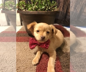 Chihuahua Puppy for sale in TUCSON, AZ, USA