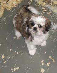 Shih Tzu Puppy For Sale in CARROLLTON, GA