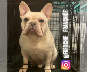 French Bulldog Puppy for Sale in LOS ANGELES, California USA
