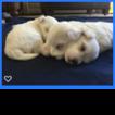 Maltese Puppy For Sale in FENTON, MI, USA