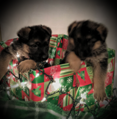 German Shepherd Dog Puppy For Sale in FOREST CITY, NC, USA