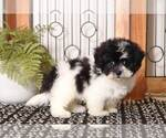 Small #2 Shih-Poo