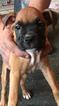 Boxer Puppy For Sale in OCOEE, FL