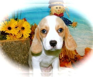 Beaglier Puppy for sale in HAMMOND, IN, USA