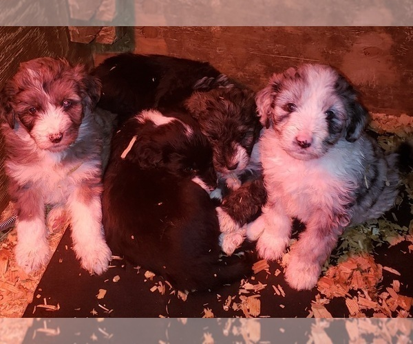 Medium Photo #6 Aussiedoodle Puppy For Sale in DERBY, IA, USA