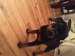 Rottweiler Puppy For Sale in FALL RIVER, MA