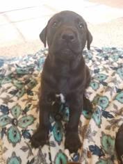 Doberman Pinscher-Labrador Retriever Mix Puppy for sale in SARASOTA, FL, USA